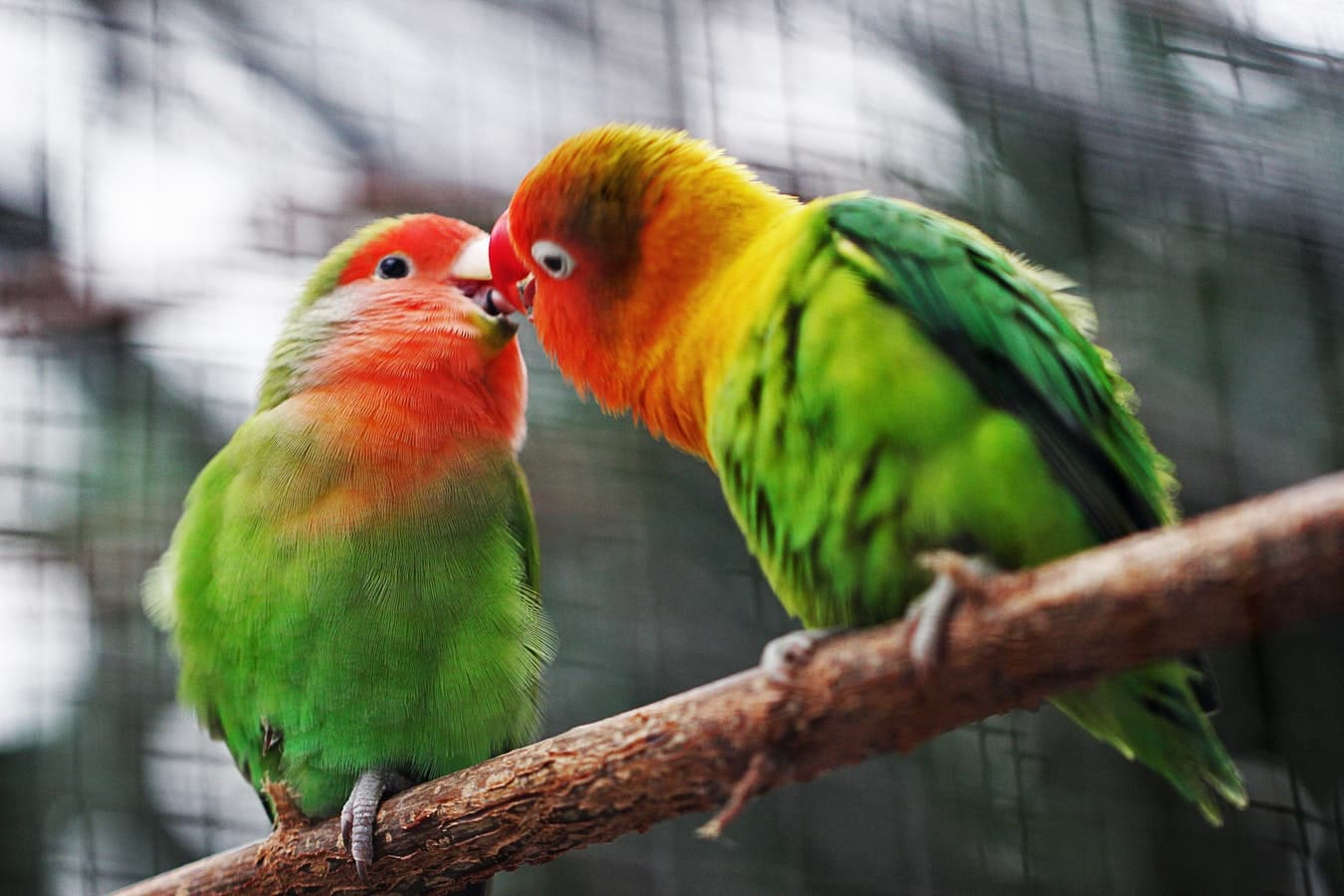 love birds by Jonah Pettrich