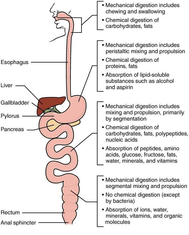 stomach metabolism